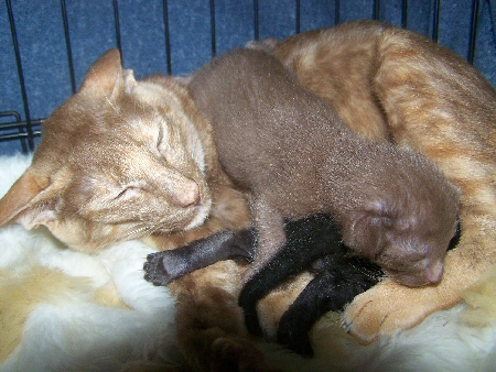 Mykanco, Cinnamon Tortie, with her black and cinnamon kitten