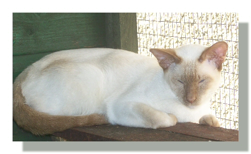 Cinnamon Point Siamese kitten